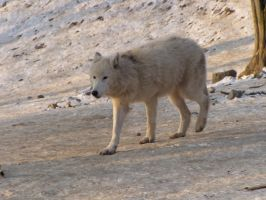 North American Arctic Wolf 98 by animalphotos