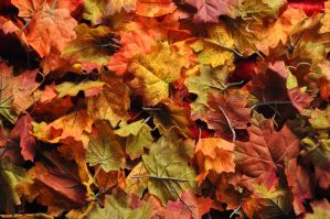Canadian Maple Leaves 002 by MichaelGBrown