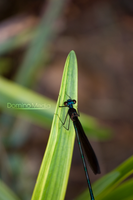 Green Dragonfly by IDR-DoMiNo