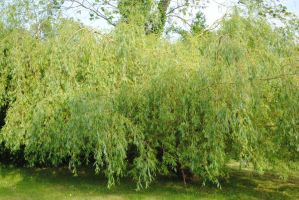 Willow Tree by ayysis