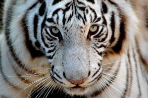 Siberian tiger by MB-Photo