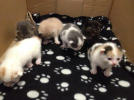 Foster Kittens 2 Weeks Old by RakshaWw