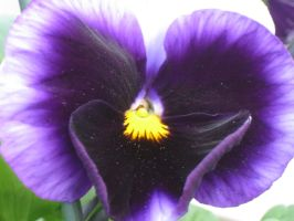 pansy... by crazygardener