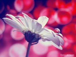 Daisy drop by lindahabiba