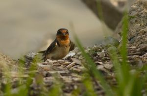 Barn Swallow June - 2014 - 23 - 4 by toshema