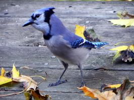 bluejay closeby by Lou-in-Canada