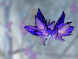 Inverted Sun Leaves by Synthemum