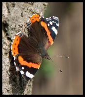 Red Admiral by Skia