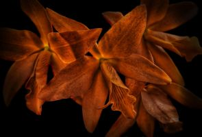HDR Orange Cattleya Orchid by braxtonds