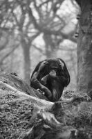 Lonely chimpanzee by 6rimR3ap3r
