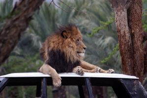 lion two by drinkgreenwater