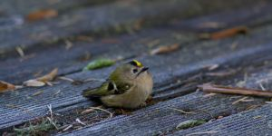 Goldcrest by telialus