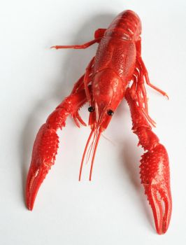 red crayfish by doko-stock