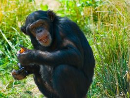 chimp30 by redbeard31