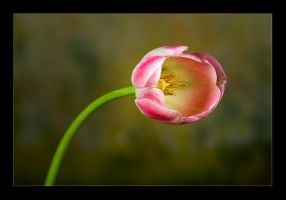 Tulip by waleed-DP