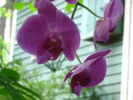 another pic of my moth orchid by crazygardener