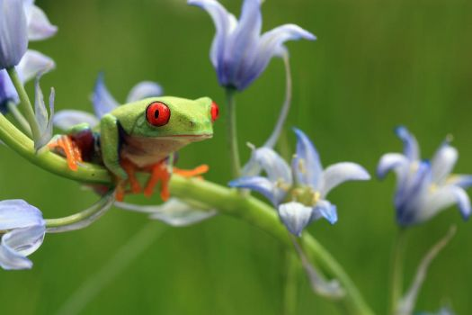 Tree frog amongst Bluebells by AngiWallace