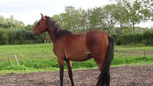Albert - Standing Bay Gelding by Horselover60-Stock