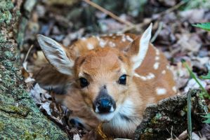 Fawn by Shrtstack21