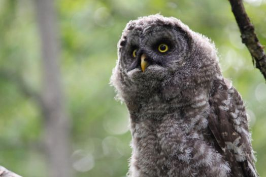 Great Grey Owlet by mack1time