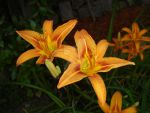 Daylily Bunch by charmedy
