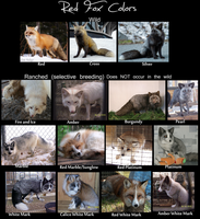 Red Fox Color Chart live pics by Krissyfawx