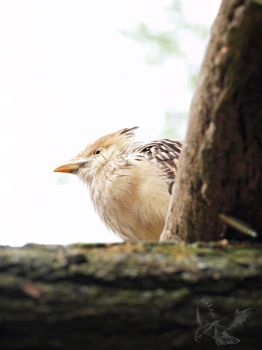 A light look - Guira Cuckoo by MotherBlessing