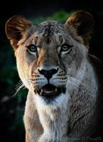 The Lioness by DuvallGear