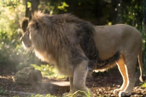 Afternoon Lion by jeffkingston
