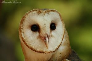 Tyto alba by Alex-and-raV