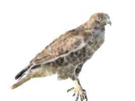Red Tailed Hawk (done) by biostings