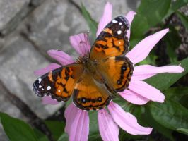 Painted Lady Butterfly by glistam