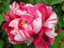 Peony in the rain by CASPER1830