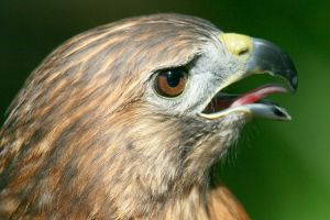Panting Red Tailed Hawk by Kippenwolf