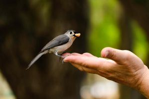 Tufted Titmouse by 2753Productions