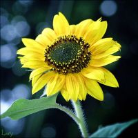 Sunflower on a cloudy day by D-Lory