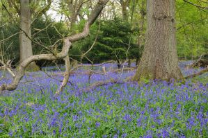 bluebells 003 by Compresso