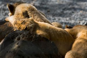 Sleeping Cubs 2 by tpphotography