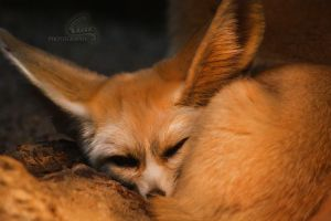 Fennec Fox by Veavictis