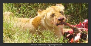 Lioness Lunching by armaan