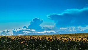 Girasoles by Garconrapide