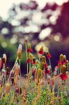 Mexican Hat Flowers. by MindlessKitteh