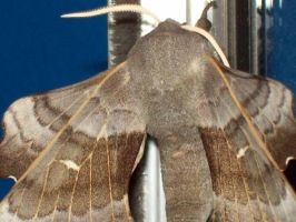 The Laothoe Populi Moth Taken In The Scrapyard 14 by Pho-TasticMathew
