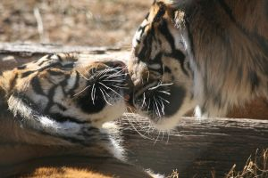 Tiger Love by StacreePhotographee