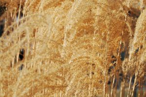 Texture-Wheat4 by 2bgr8STOCK