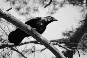 Carrion Crow by OliverBPhotography
