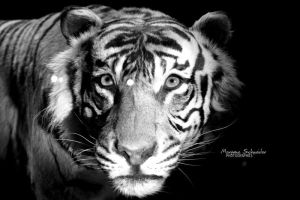 Panthera tigris sumatrae by MorganeS-Photographe