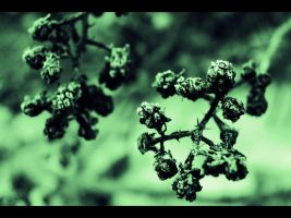 blackberries in frost by csaby1