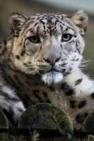4171 - Snow leopard by Jay-Co