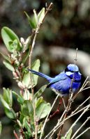 Blue Wren by BeautifulSoulXxX